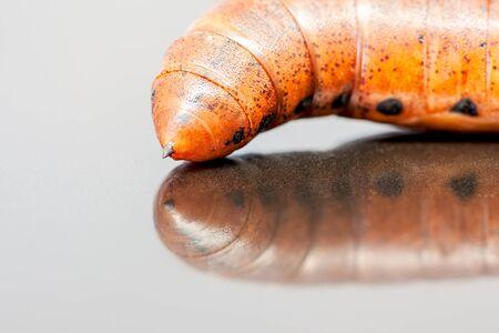 deilephila: an Larva from an  Elephant Hawk-moth on an black polish title