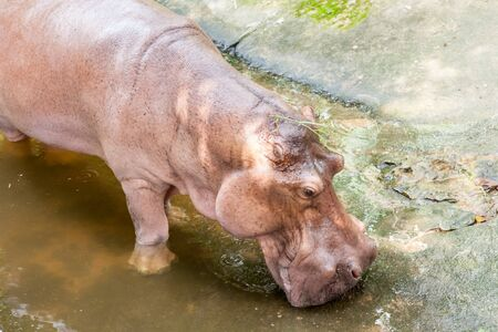 animals amphibious: an close up of a hippo that come out of the water