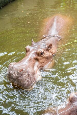 animals amphibious: an close up of a hippo in the water