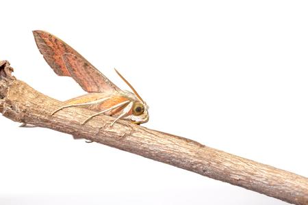 deilephila: an Giant Arum hawk moth on an branch from an three