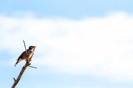 shrinking: timid Common myna is sitting on an branch