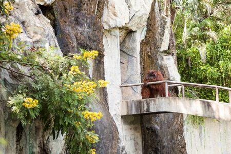 hominid: on an concrete walkway is an orangutan