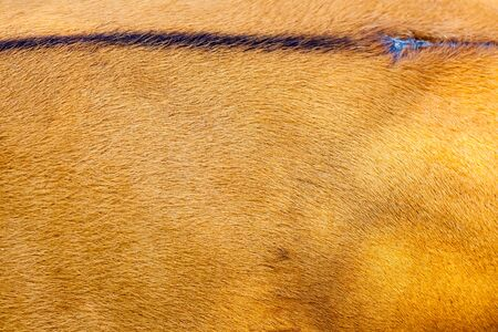 hairy back: The sheet of a close banteng, brown and hairy and a black stripe on the top of his back Stock Photo