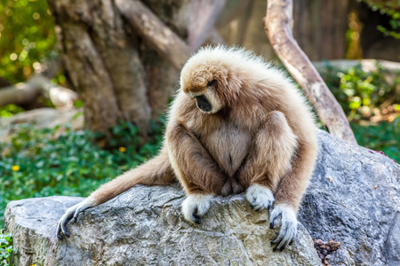 hairy arms: a Northern white cheeked gibbon sit on a rock Stock Photo