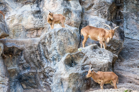 mountain goats: Three mountain goats walking on the sides of the rocks
