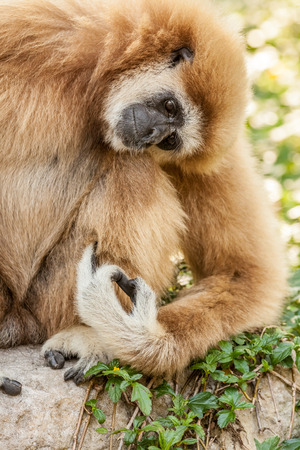 hairy arms: a Northern white cheeked gibbon sit on a branch of a tree