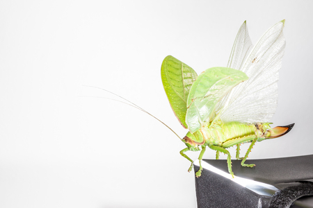 grig: an Katydids of Thailand just fly away