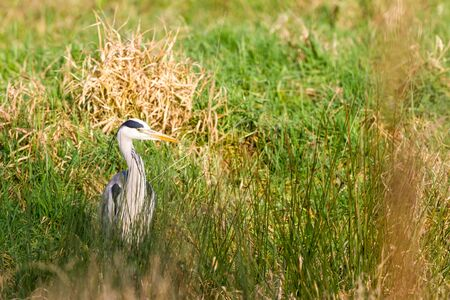 egrets: This heron is waiting for an snack in the meadow