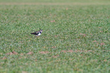 lapwing: on the meadow farmer runs an Northern lapwing Stock Photo