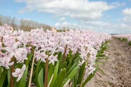 hyacinths: Fields of hyacinths in Amsterdam