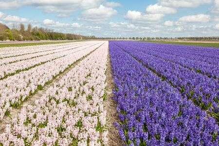 hyacinths: Fields with hyacinths in Amsterdam Stock Photo