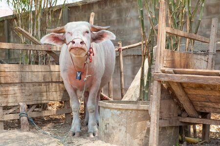 albino: Albino buffalo in Thailand