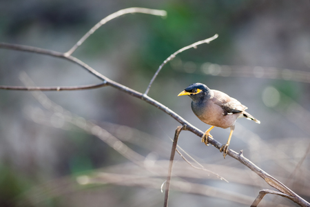 coy: timid Common myna is walking on the ground