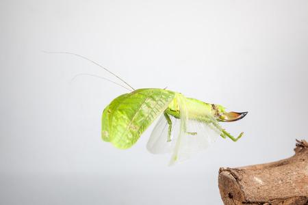 an Katydids of Thailand just fly away