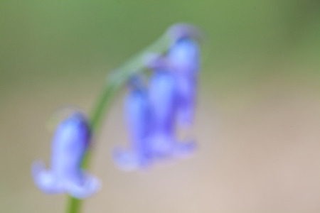bluebell woods: in the forest you have trees and bluebells on the ground in spring time