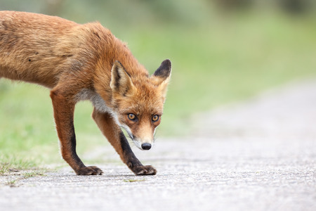 Amsterdam waterleidingduinen there is a family of red foxes in close up Banco de Imagens