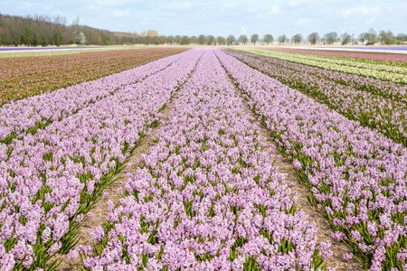hyacinths: these fields with hyacinths in Amsterdam Stock Photo