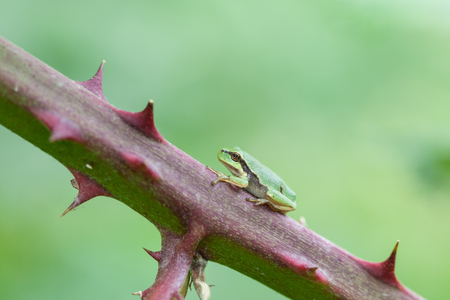an European tree frog sitting on a branch Stock Photo