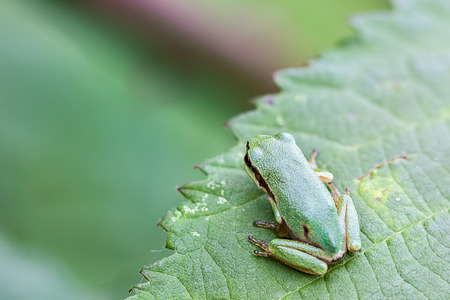 amphibia: an European tree frog sitting on a branch Stock Photo