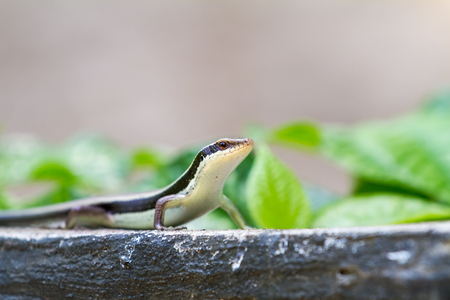 esta salamandra salvaje de Tailandia, se erige en la mirada a su alrededor