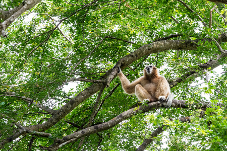 an Northern white cheeked gibbon sit on a tree Stock Photo