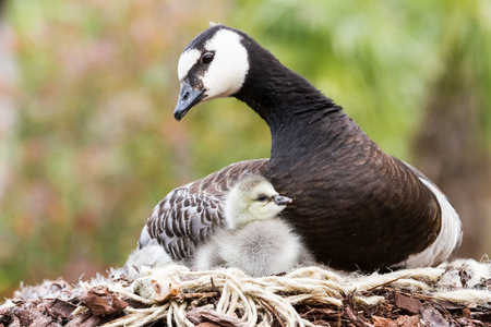 Mother goose with her young under her wing