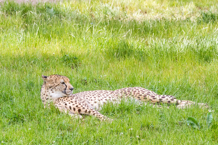 In the grass there is an asiatic cheetah Фото со стока
