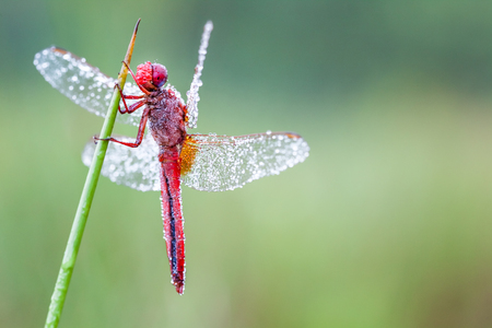In the early morning you will see that firefly with water dew of the dew