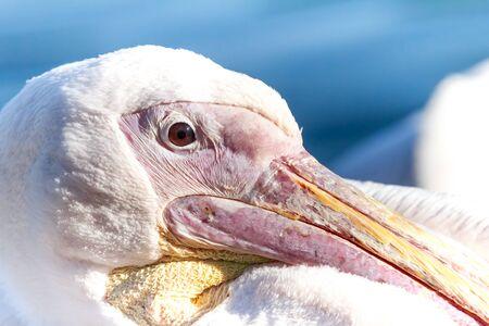 Beautiful pelican Imagens