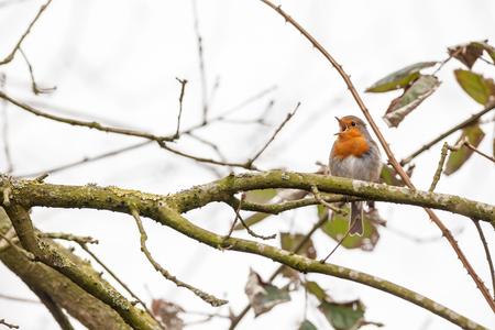 an European Robin is looking for dangerous on an tree