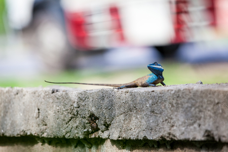 on a concrete fence of a park there is a Calotes mystaceus Stock Photo