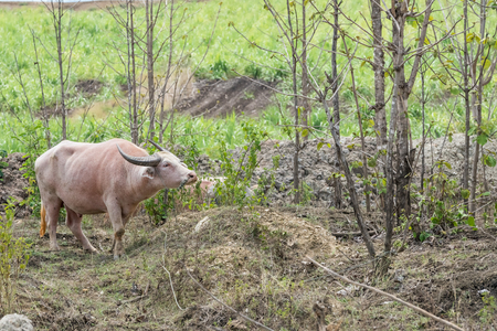 On an farm there is albino buffalo in Thailand