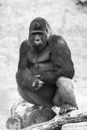 this beautiful gorilla is an adult silverback Standard-Bild - 106579217