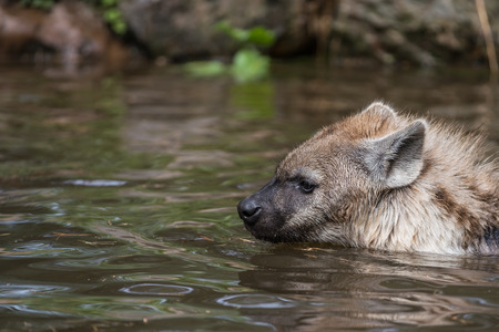 in the water there are two Hyena's playing and enjoying their dive Foto de archivo