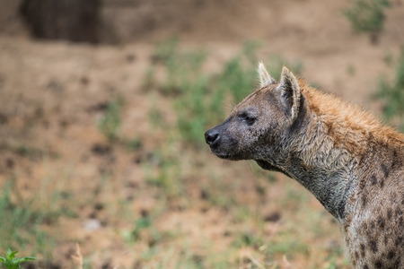 on the field in africa a hyena is looking around