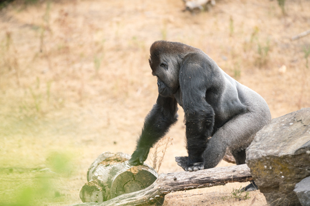 this beautiful gorilla is an adult silverback