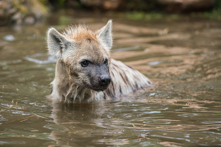 in the water there are two Hyena's playing and enjoying their dive Banque d'images