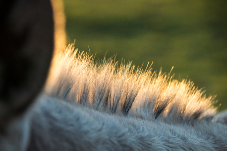 a donkey's neck hair that stands upright with backlighting