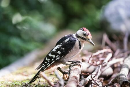 the Great Spotted Woodpecker enjoys its bird food
