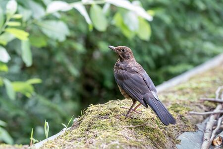 A Common blackbird sits on a branch of a tree looking out for danger