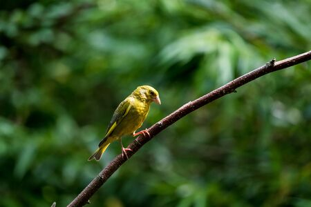 A greenfinch is looking out on a narrow branch of a tree