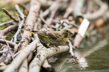 In the forest next to a feeding place there is a European greenfinch Stok Fotoğraf