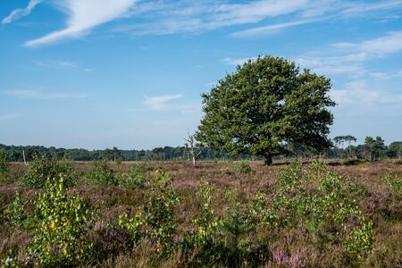 Landscape of bog filled with blooming purple common heather