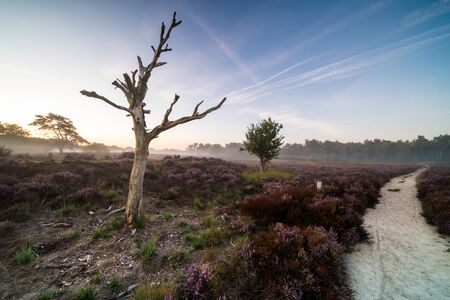 On the surface of the heath on a beautiful foggy morning, the Calluna is in bloom