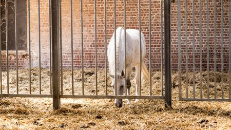 in a stable covered with straw there is a horse behind bars 写真素材
