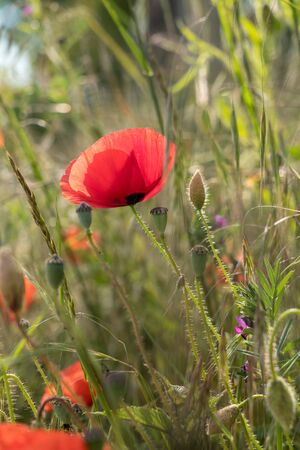 This beautiful poppy is blooming on a beautiful  morning