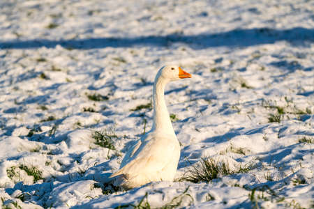 On the meadow in the landscape there is a beautiful white Goose in the snow