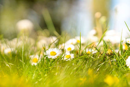 In the park of a large city there are a lot of Margriet Bloem in the grass 스톡 콘텐츠