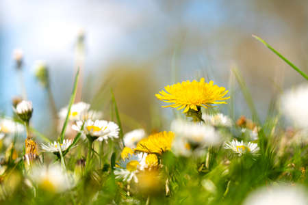 In the park in the grass grow Dandelions with seeds on the crown 스톡 콘텐츠