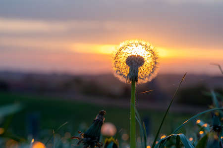 In the park in the grass grow Dandelions with seeds on the crown whit sunrise